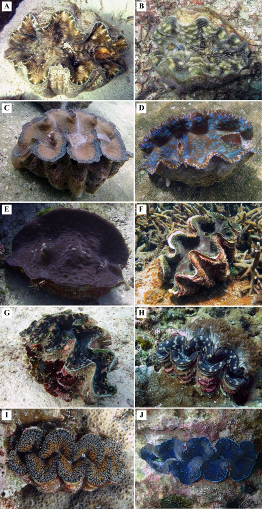 what are giant clams mei lin neo